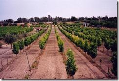 CW - NICOLAIDES Vines