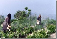 Sulphering the vines in Vouni (1992)