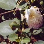 Capari-Caper-plant.jpg