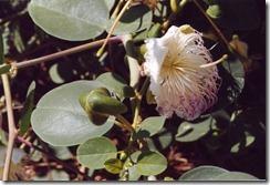 Capari (Caper plant)
